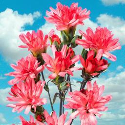 Garten-Nelke Tiara® Coral Pink, im ca. 9 cm-Topf