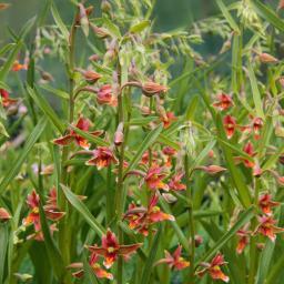 Stendelwurz-Orchidee Sabine