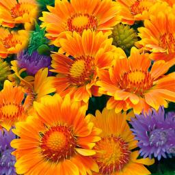 Kokardenblume Oranges and Lemons