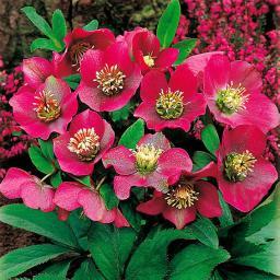 Rote Christrose