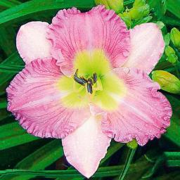 Bonbon-Taglilie Eleonore, im ca. 9 cm-Topf