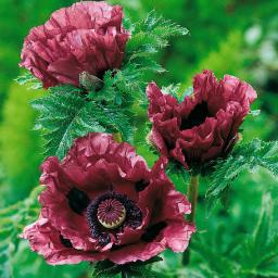 Gartenmohn Patty's Plum