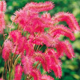 Rosafarbene Federblüte