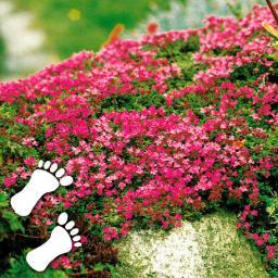 Gartenpflanzen Winterhart Immergrün immergrüne pflanzen online kaufen bei gärtner pötschke