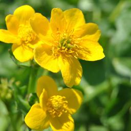 Gelbe Sumpfdotterblume