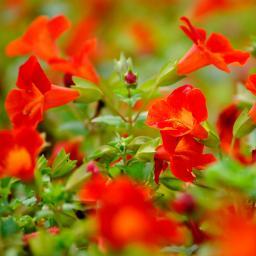Gauklerblume rot-orange, im ca. 9 cm-Topf