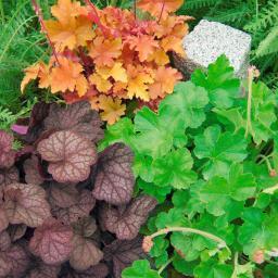 Sortiment Purpurglöckchen, 3 Pflanzen