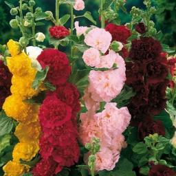 Sortiment Gefüllte Stockrosen, 5 Pflanzen