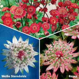 Sortiment Sterndolden, 3 Pflanzen