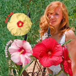 Sortiment Riesen-Hibiskus, 3 Stück