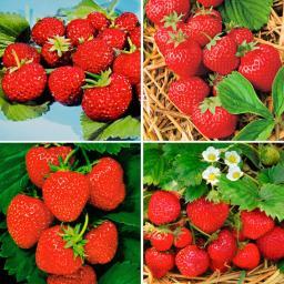 Erdbeerpflanzen-Sortiment Marathon