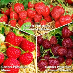 Gärtner Pötschkes Erdbeersorten Auslese, getopft