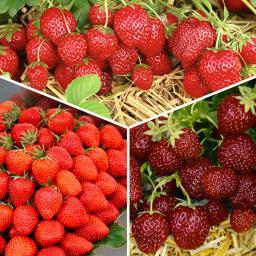 Sortiment Gärtner Pötschkes Köstliche Erdbeersorten