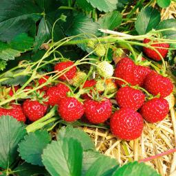 Erdbeerpflanze Gärtner Pötschkes Mieze, getopft