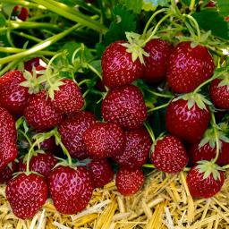 Erdbeere Gärtner Pötschkes Aroma-Erdbeere, getopft