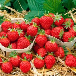 Erdbeerpflanze Mara des Bois, getopft