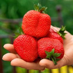 Erdbeerpflanze Sweet Mary®, getopft
