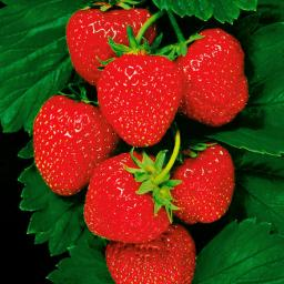 Erdbeere Senga® Sengana®, getopft