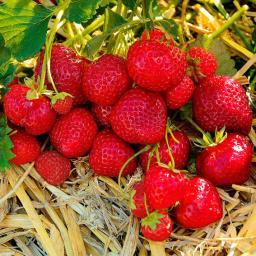 Erdbeerpflanze Hummi's® Sengana®-Selektion, getopft