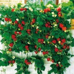 Erdbeerpflanze Hängeerdbeere, getopft