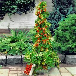 Erdbeerpflanze Klettererdbeere Mountainstar, getopft