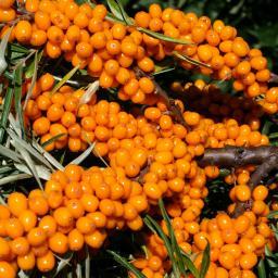 Obst-Set Sanddorn, im ca. 19 cm-Topf