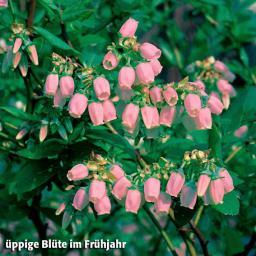 Heidelbeere Pink Lemonade