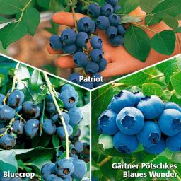 Obst-Sortiment Schmackhafte Kultur-Heidelbeeren