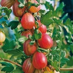 Stachelbeere Xenia®, im ca. 20 cm-Topf, Busch
