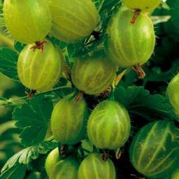 Stachelbeere Invicta®, Hochstamm