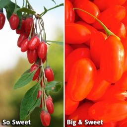 Obst-Sortiment Goji-Beeren So Big & Sweet