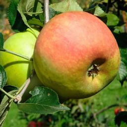 Apfel Goldrenette von Blenheim
