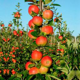 Apfel Santana(S), Basic