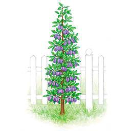 Gärtner Pötschkes Blaue Säulen-Pflaume, balliert