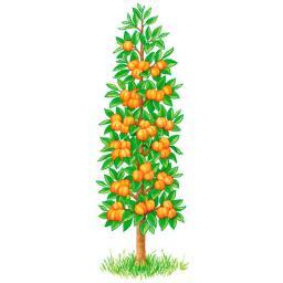 Säulen-Aprikose Clarina