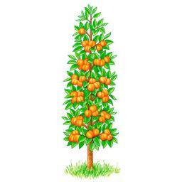 Säulen-Aprikose Clarina, 2-jährig