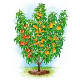 Obstsalatbaum®
