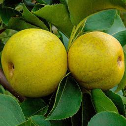 Japanische Apfelbirne Nashi Nijisseiki