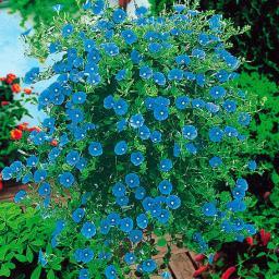 Gärtner Pötschkes Blaue Mauritius
