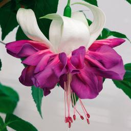 Giant-Fuchsie Deep Purple, im ca. 11 cm-Topf