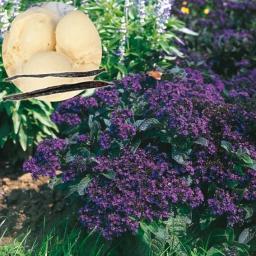 Gärtner Pötschkes Vanille-Blume