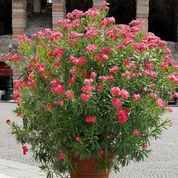 Roter Oleander, XL-Qualität