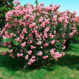 Lachsrosafarbener Oleander