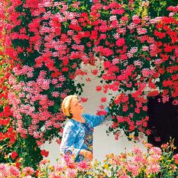 Hänge-Geranie Ville de Paris, rosa
