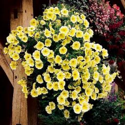 Petunie Viva® Yellow