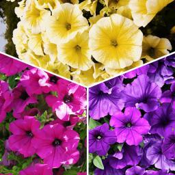 Petunien Sommerblumen-Sortiment