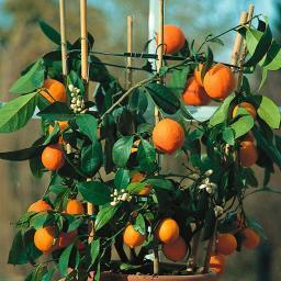 Mini-Orange Tangerine