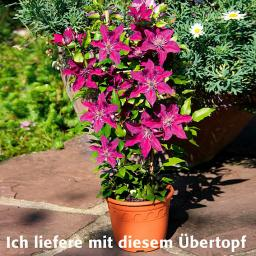 Terrassen-Clematis Picardy™