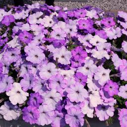 Hängepetunie Lavender Shades