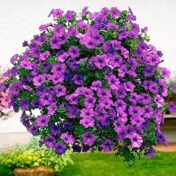 Surfinia®-Petunie Violet